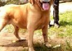 Labrador retriever puppies in Ja Ela