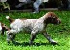 German Shorthaired Pointer Puppies in Panadura