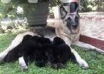 German Shepherd Puppies in Beruwala