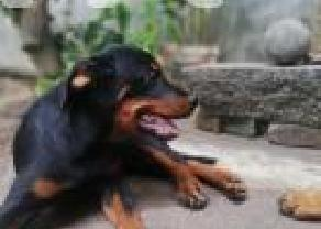 Rottweiler Puppies in Moratuwa