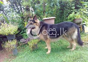 Lion Shepherd Dog in Ambalangoda