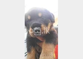 Rot Wiler Dog in Ambalangoda