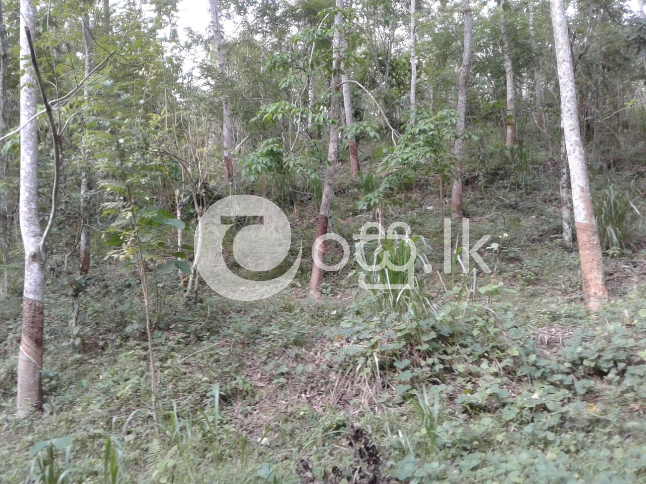 Rubber and Pepper Agriculture Land for Sale in Wellawaya Land in Wellawaya