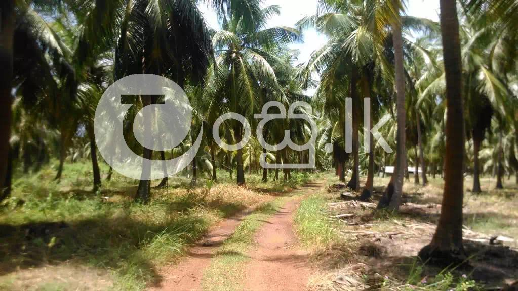 Coconut Land for Sale in Chilaw in Chilaw