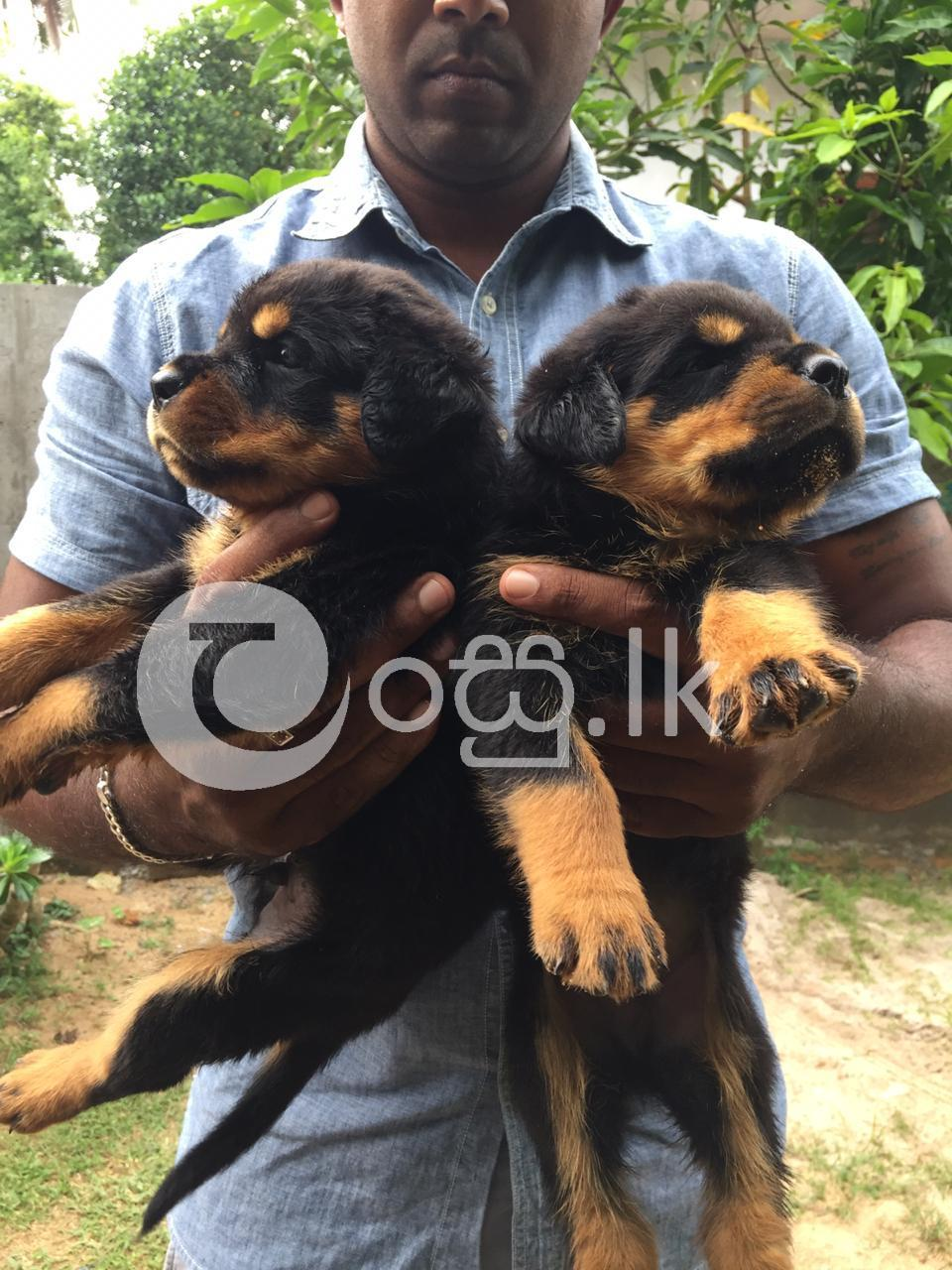 Rottweiler Puppies Pets in Ambalangoda