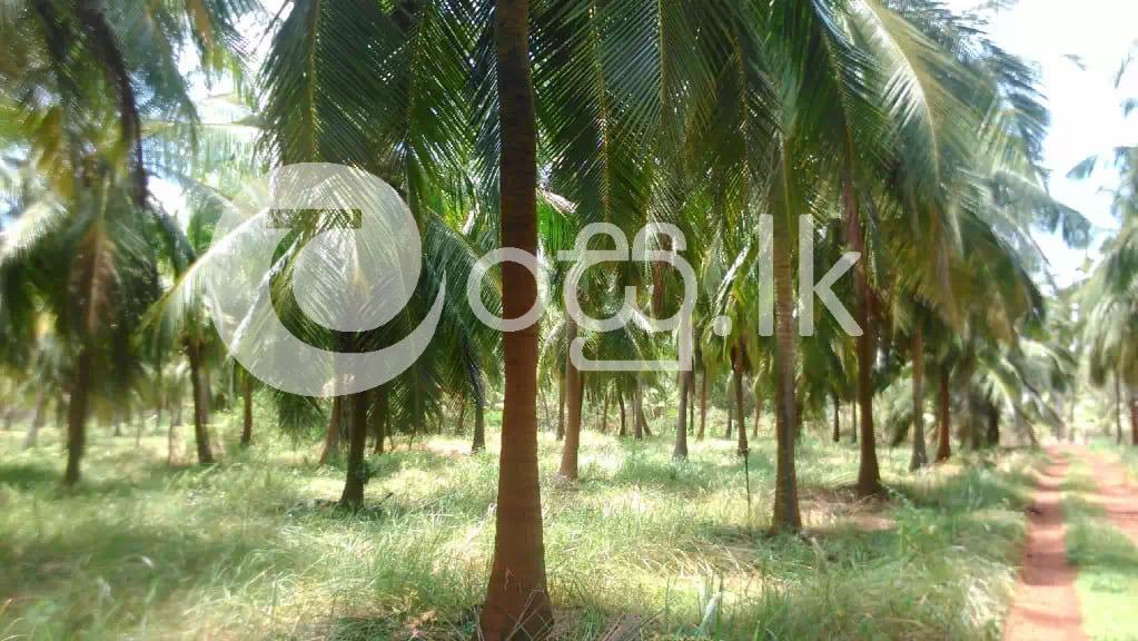 Coconut Land for Sale in Chilaw Land in Chilaw