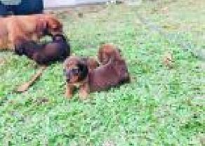 Dachshund Long hair Pappy Sale in Bingiriya