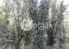 Rubber and Pepper Agriculture Land for Sale in Wellawaya in Wellawaya