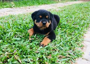 Rottweiler Female Puppy  in Ambalangoda