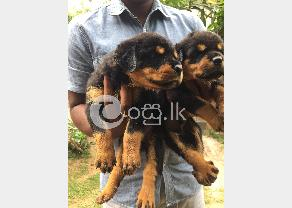 Rottweiler Puppies in Ambalangoda