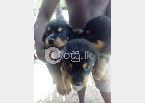 Rottweiler Puppy in Ambalangoda