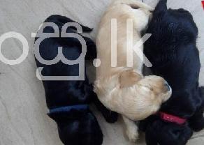 Original cocker spaniel puppies in Negombo