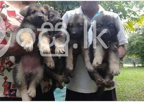 German Shepherd Puppies in Ragama