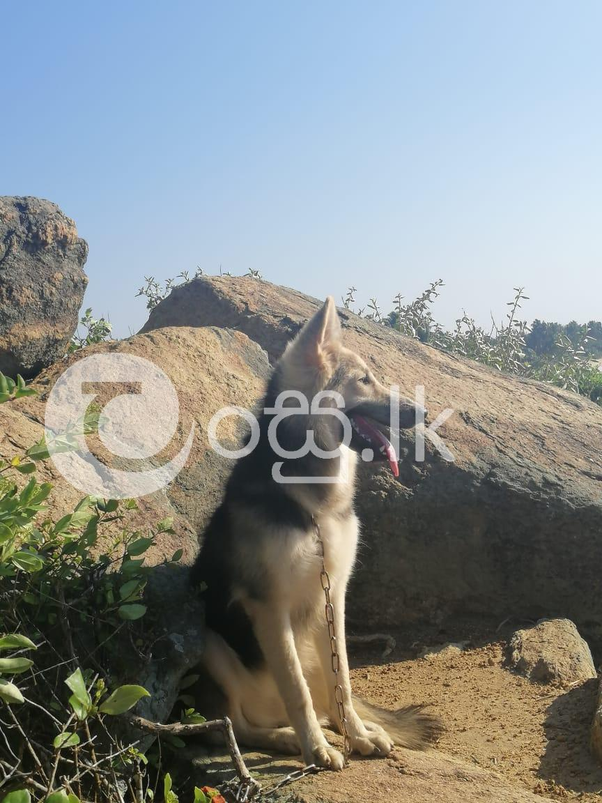 German Shepherd Dog Pets in Ambalangoda