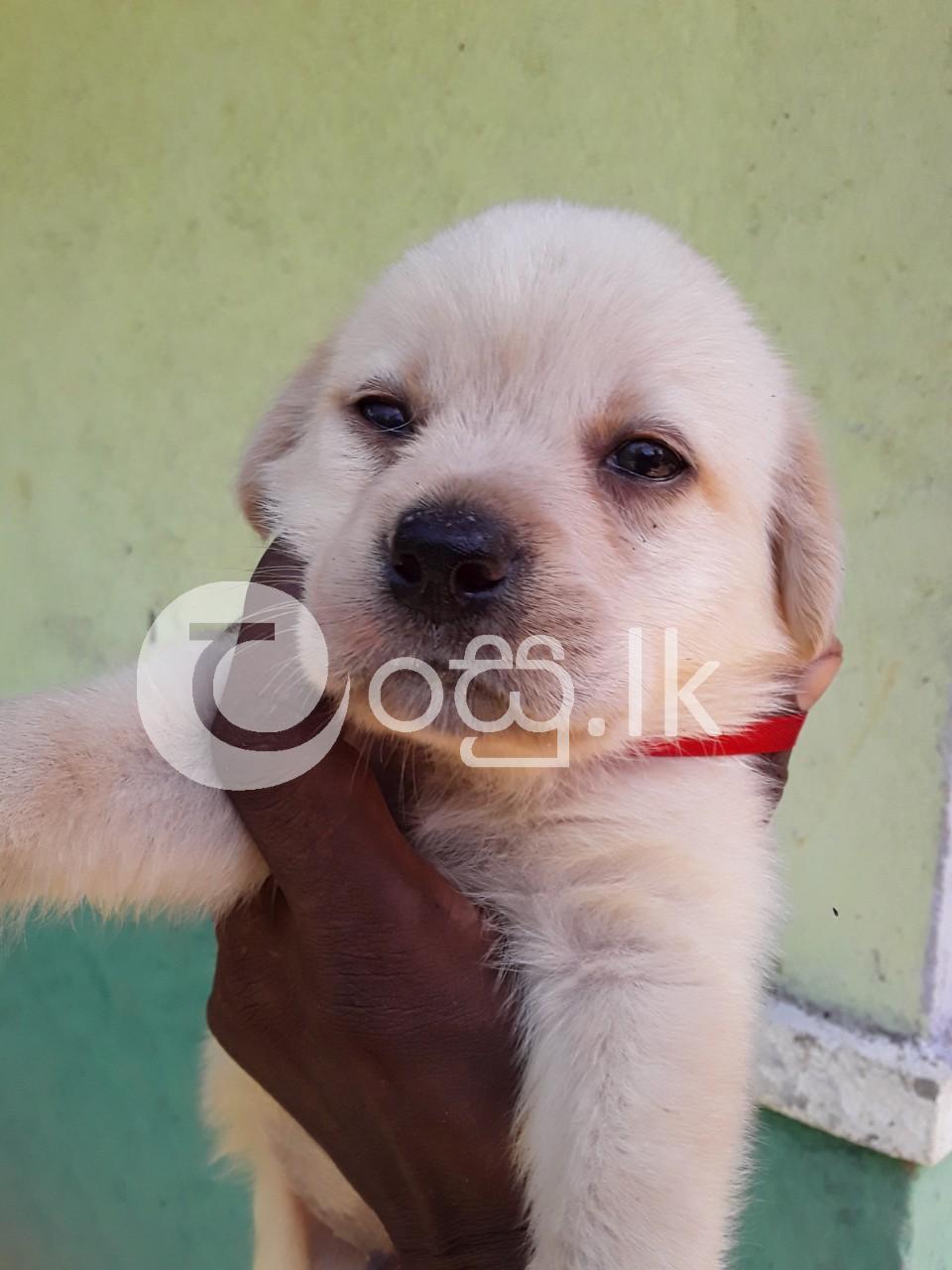 Labrador Dog Pets in Ambalangoda