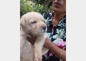 Labrador Dog in Ambalangoda
