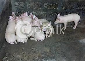 Large White Pig in Ambalangoda