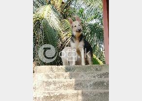 German Shepherd Dog in Ambalangoda