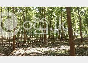 Valuable Teak land in Hambantota