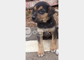 Free Puppy for kind home in Athurugiriya