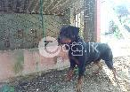 Rottweiler dog in Balapitiya